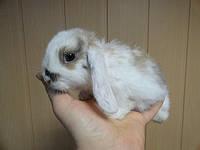 Ручной кролик.