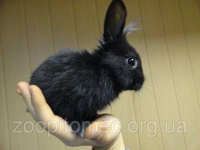 Кролик ручной, чорный бархат