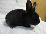Кролик ручной, чорный бархат, фото 4