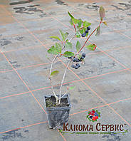 Арония черноплодная, фото 1