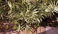 Бамбук вариегатный (низкорослая форма до 50 см)