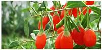 Саженцы ягоды годжи сортовые