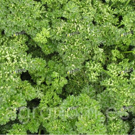 Семена петрушки Кудринка 500 грамм Semo