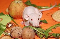 Крыски сфинксы от  100 грн, ручные голыши дамбо сфинкс