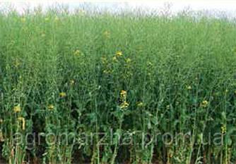 Семена рапса сорт ЕС Гидромел (Euralis semences)