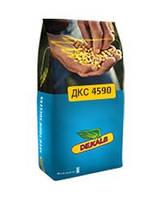 Кукуруза Monsanto DKS 4590 (ФАО 360 Среднеспелый) 2016 г.