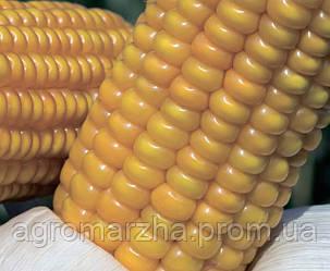 Кукуруза сорт Аалвито (Limagrain)