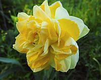 Нарцисс  Sweet Pomponette (Свит Помпоннет) луковица 12/14