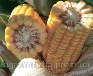 Кукуруза сорт Банги (Limagrain)