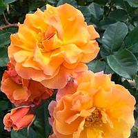 Роза Арабія
