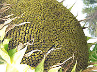 Семенной материал кукурузы НС-101; НС-2012; НС-2612; НС-3033; НС-400;Тиффен
