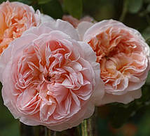 Роза Евелін
