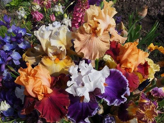 Цветок ирис. Классификация садовых ирисов