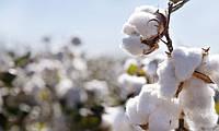 Цікаво про бавовні: від вирощування до виробництва тканини (відео)