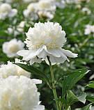 Півонія Charlies White (Чарльз Уайт) корінь, фото 4