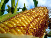 Семена кукурузы Бомбастик