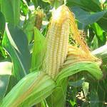 Семена кукурузы ЕС Пароли