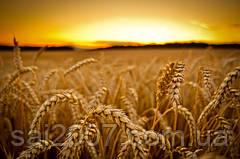 повна технологія мінерального живлення  озимої пшениці.