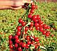 Томат черри Стромболино F1 ранний высокоурожайный гибрид низкорослого томата типа Черри, фото 2