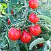 Томат черри Стромболино F1 ранний высокоурожайный гибрид низкорослого томата типа Черри, фото 3