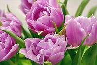 Фотообои из плотной бумаги на стену 207*144 см , 9 листов, Цветы, Тюльпаны