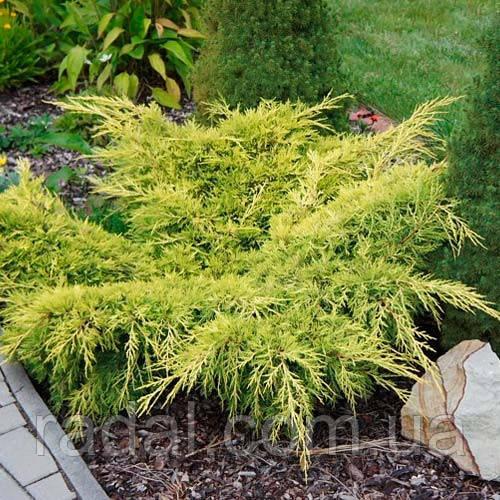 Можжевельник горизонтальный Лайм Глоу L2 (Juniperus horizontalis Lime Glow )