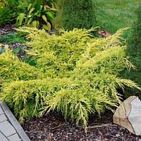 Можжевельник горизонтальный Лайм Глоу L2 (Juniperus horizontalis Lime Glow ), фото 1