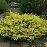 Ялівець горизонтальний Лайм Глоу P9 (Juniperus horizontalis Lime Glow ), фото 3