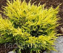 Можжевельник горизонтальный Лайм Глоу P9 (Juniperus horizontalis Lime Glow )
