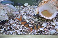 Аквариумная рыбка боция-клоун