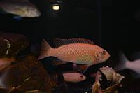Лабеотрофеус тревавас (самка)