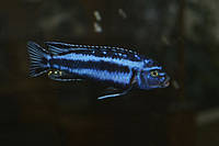 Меланохромис майнгано
