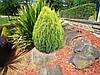 Плосковеточник восточный  ( Platycladus orientalis Golden Pygmy )