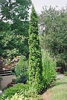 Туя западная Дегрут Спайр (Thuja occidentalis Degroot Spire)