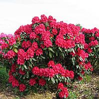 Rhododendron Nova Zembla (Нова Зембла) 1.5. 2года