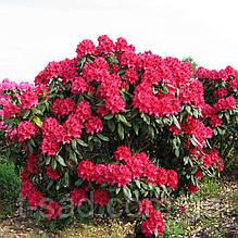 Rhododendron Nova Zembla (Нова Зембла) С1 2года