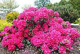 Rhododendron Nova Zembla (Нова Зембла), фото 3