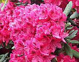 Rhododendron Nova Zembla (Нова Зембла), фото 4