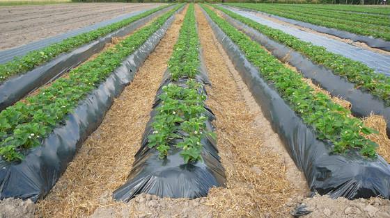 Черная пленка для мульчирования полотно 1,2м х 500м (40 мкм) 3 года  - AgroDolina в Виннице