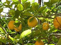 Лимон комнатный сорт Новогрузинский 20-25 см.