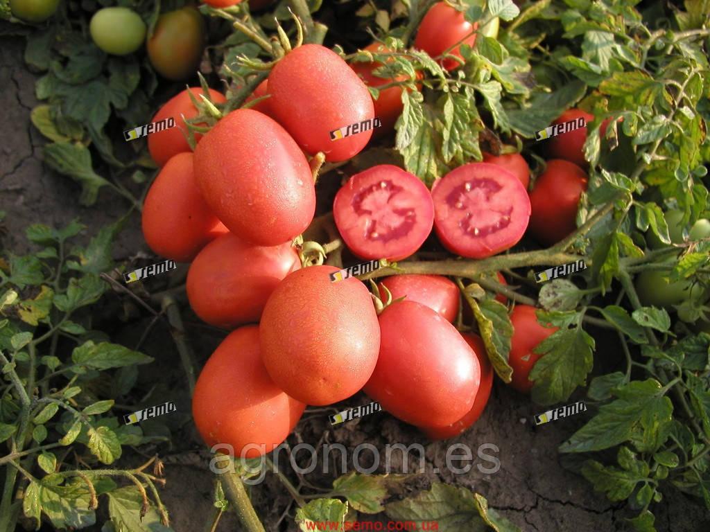 Семена томата Шейк 10 000 семня Semo