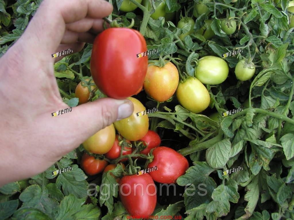 Семена томата Орбит 10 000 семян Semo