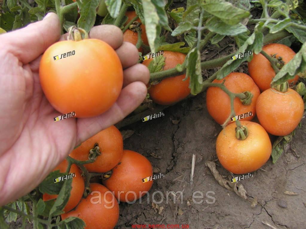 Семена томата Оранж 10 000 семян Semo