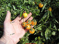 Семена томата Миниголд 5 грамм Semo