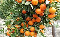 Клементин Нова (Citrus clementina Nova) Комнатный