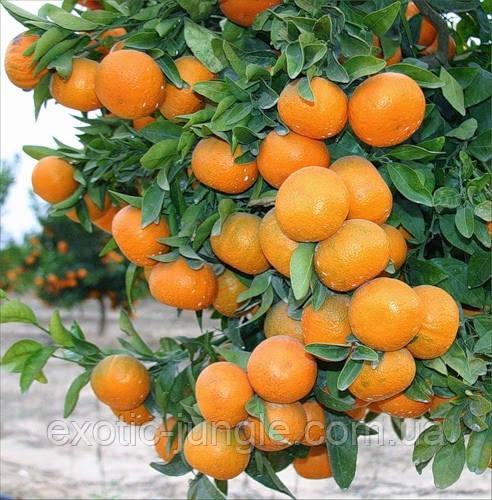 Мандарин Сорт: Клементин 35-40 см.