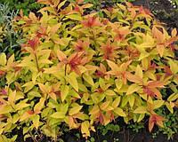 Спірея японська Spiraea japonica Gold Flame С2