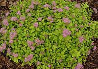 Спірея японська Spiraea japonica little princess С2