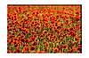 Картина на холсте Маковое поле (20х30)