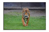 Картина на холсте Тигр на траве (20х30)